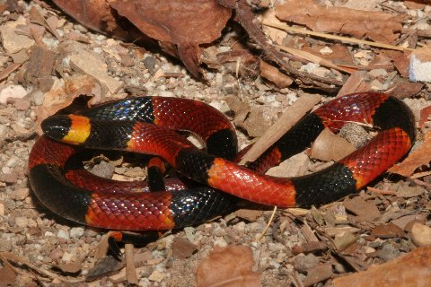 Eastern coral snake (Micrurus fulvius; regional variant) — photo credit: Richard Bartlett