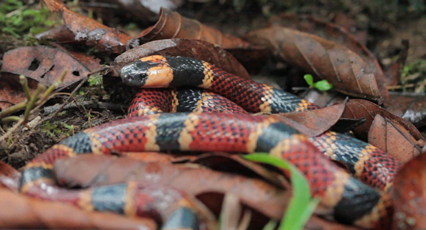 Allen's coral snake (<em>Micrurus alleni</em>), Dominical, Costa Rica — photo credit: Ray Morgan