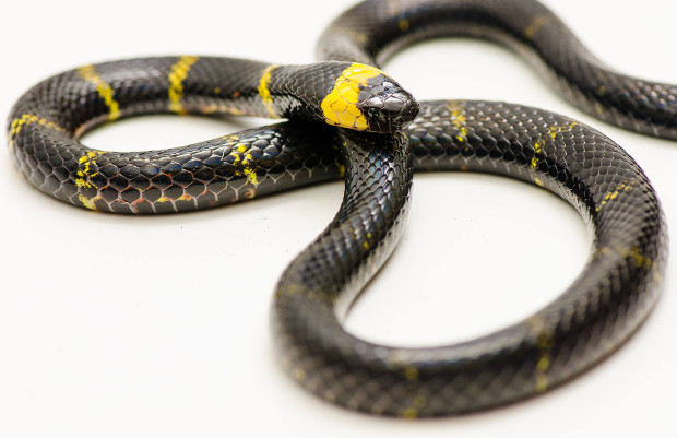 The Most Common Myths About Coral Snakes | The Venom Interviews