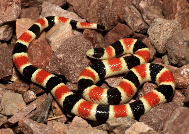 Western Shovel-nosed Snake — Chionactis occipitalis